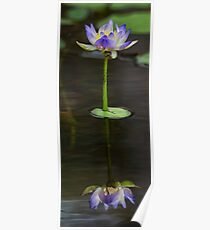 Galvans Waterlily Poster