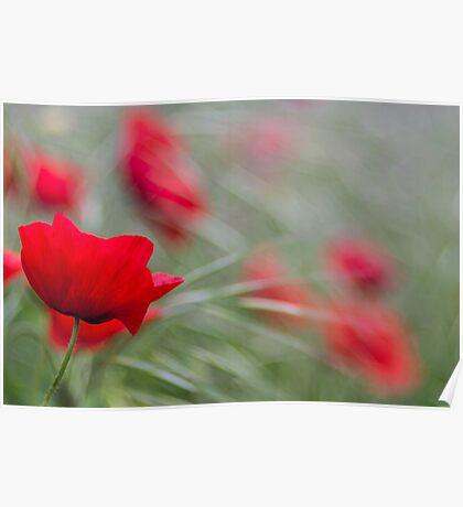 Poppy Love Poster