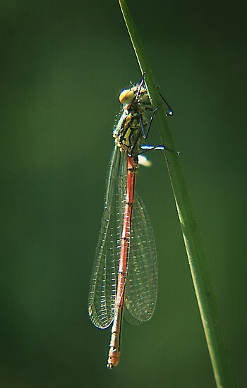 Common red damselfly by miradorpictures