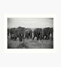 African Elephants (Loxodonta africana) Art Print