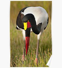 Saddle-billed Stork (Ephippiorhynchus senegalensis) Poster
