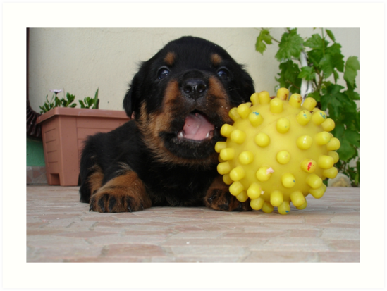 Tiny Rottweiler Puppy Playing With Large Toy Ball by taiche