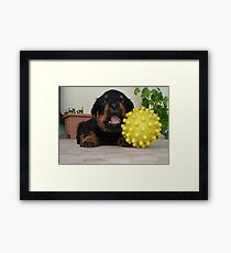 Tiny Rottweiler Puppy Playing With Large Toy Ball Framed Print