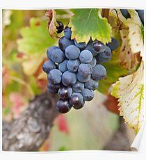 Wine Grap - Chateauneuf du Pape Poster
