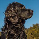Animal, Dog, Cocker Spaniel, Black by Hugh McKean