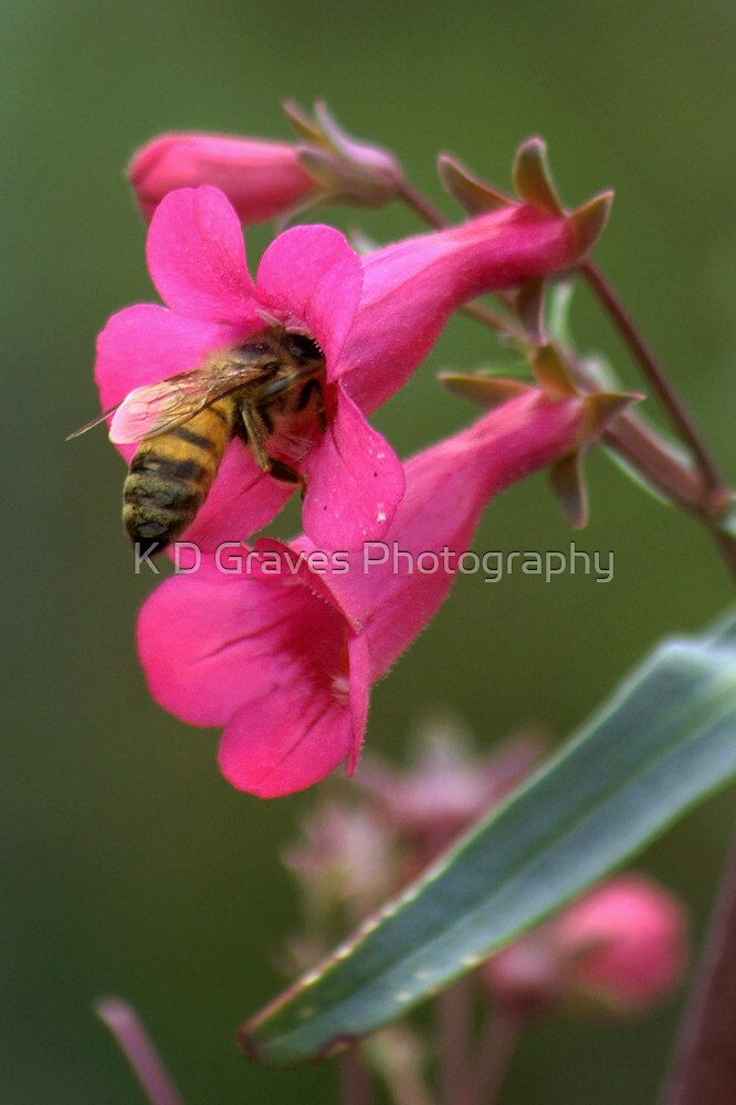 Pollinating The Spring Penstemon by K D Graves Photography