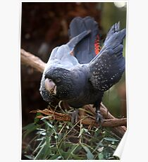 Australian Black Cockatoo - Red tail Poster