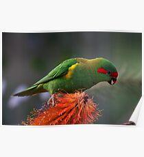Australian Parrot - Musk Lorikeet Poster