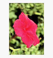 Petunia! Photographic Print