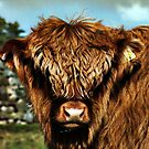 Highland Calf by partridge