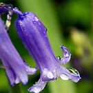 Bluebell by partridge
