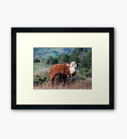 A Hereford's Lot Framed Print