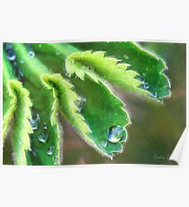 Water Droplets on Lady's Mantle Poster