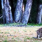 A kangaroo and her joey at Halls Gap, Victoria by Elana Bailey
