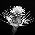 Cemantis without petals by Mick Kupresanin