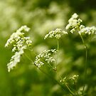 Cow Parsnip  (Heracleum maximum)  by Stephen J  Dowdell