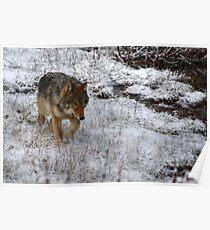Kootenay Wolf Poster