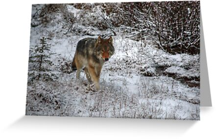 Lone Wolf - Kootenay National Park by James Anderson