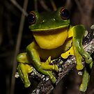 Red-Eyed Tree Frog by D Byrne
