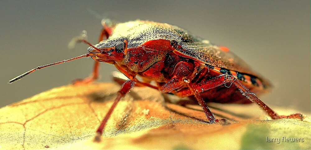 Shield Bug  by larry flewers
