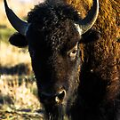 Colorado Bison by Reese Ferrier