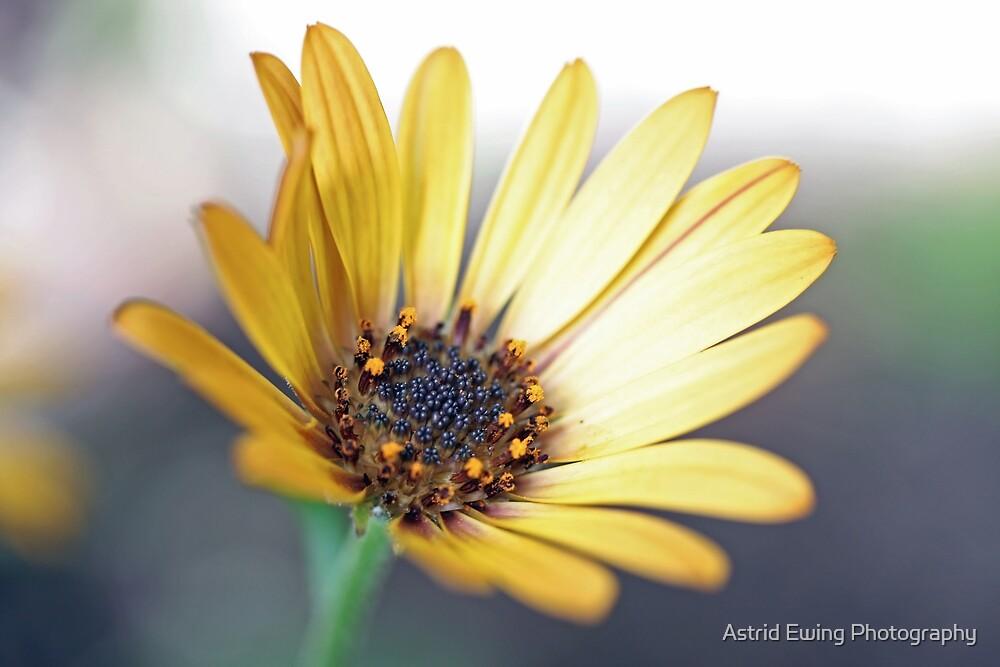 Osteospermum hyoseroides (Star of the Veldt) by Astrid Ewing Photography