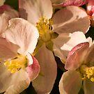 Apple Blossom Time by Wulfrunnut
