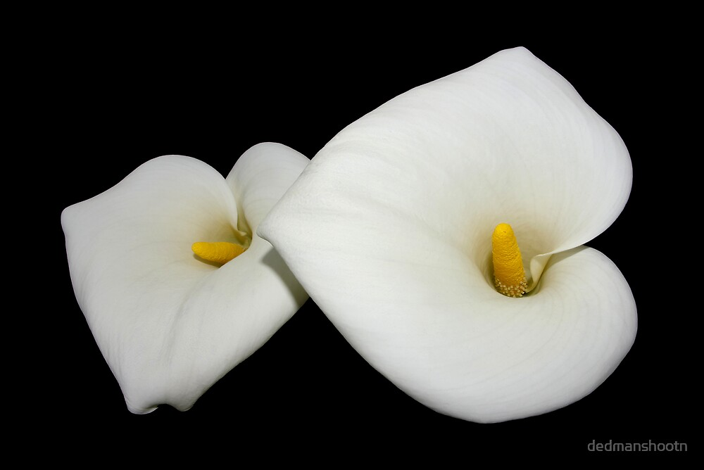 beautiful calla lilies on black by dedmanshootn