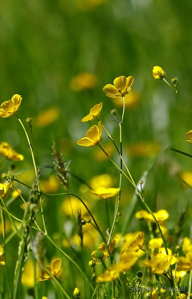 Buttercup'S' by Stephen J  Dowdell