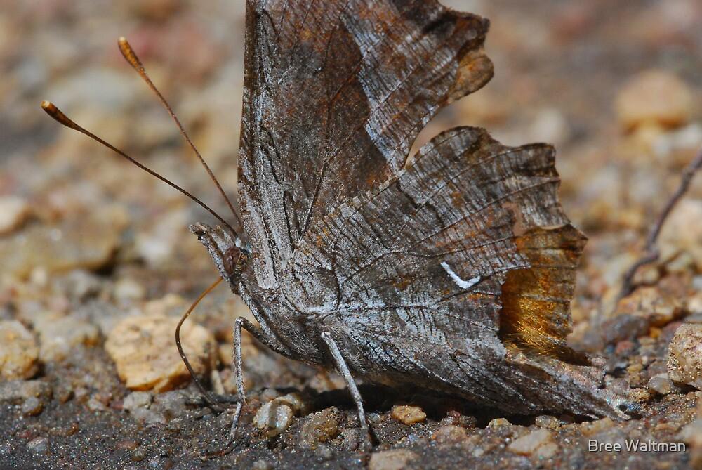 Nymphalis californica by Bree Waltman