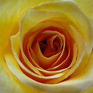 yellow roses . . .  by vivica