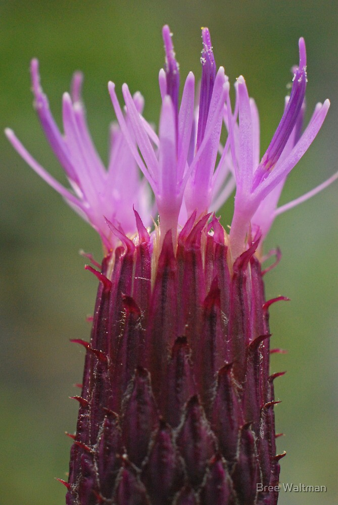 The Thistle Brush by Bree Waltman