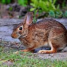 Honey Bunny by Kathy Baccari