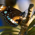 Butterfly by Doug Cliff