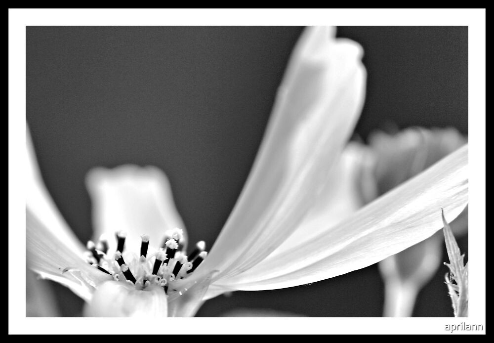 Cosmos in Black and White by aprilann