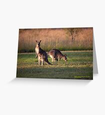 Kangaroos and baby Joey grazing at Vacy, NSW Australia Greeting Card