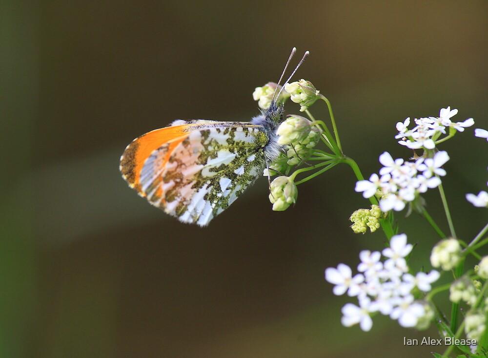 Male Orange Tip Butterfly ( Anthocaris Cardamines ) on Parsley Water Dropwort by Ian Alex Blease