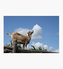 Greedy Goat Photographic Print
