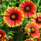 Indian blanket by Mike Shell
