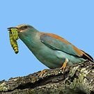 A European roller with the catch of the day! by Anthony Goldman