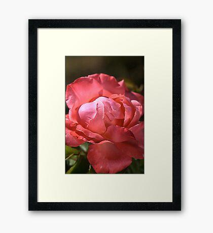 Light on Rose Framed Print