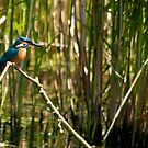 perched kingfisher by Steve Shand