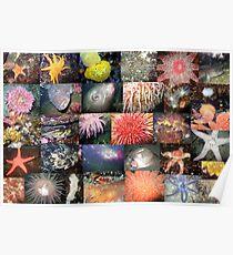 Pacific Northwest Marine Life Collage (landscape) Poster