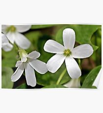 Oxalis in White Poster
