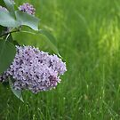 Low Hanging Lilac by Stephen Thomas