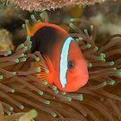 Black anemonefish - Amphiprion melanopus by Andrew Trevor-Jones