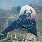 Panda Eating by bethscherm