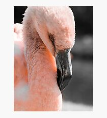 Young Flamingo Chick Photographic Print