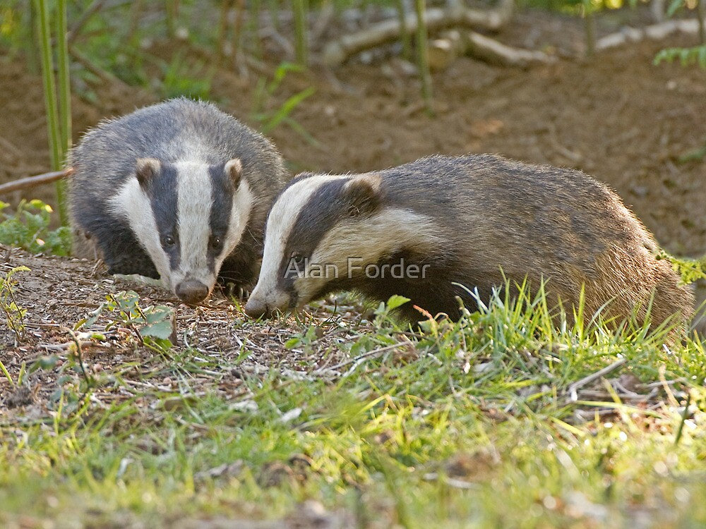 Badgers by Alan Forder