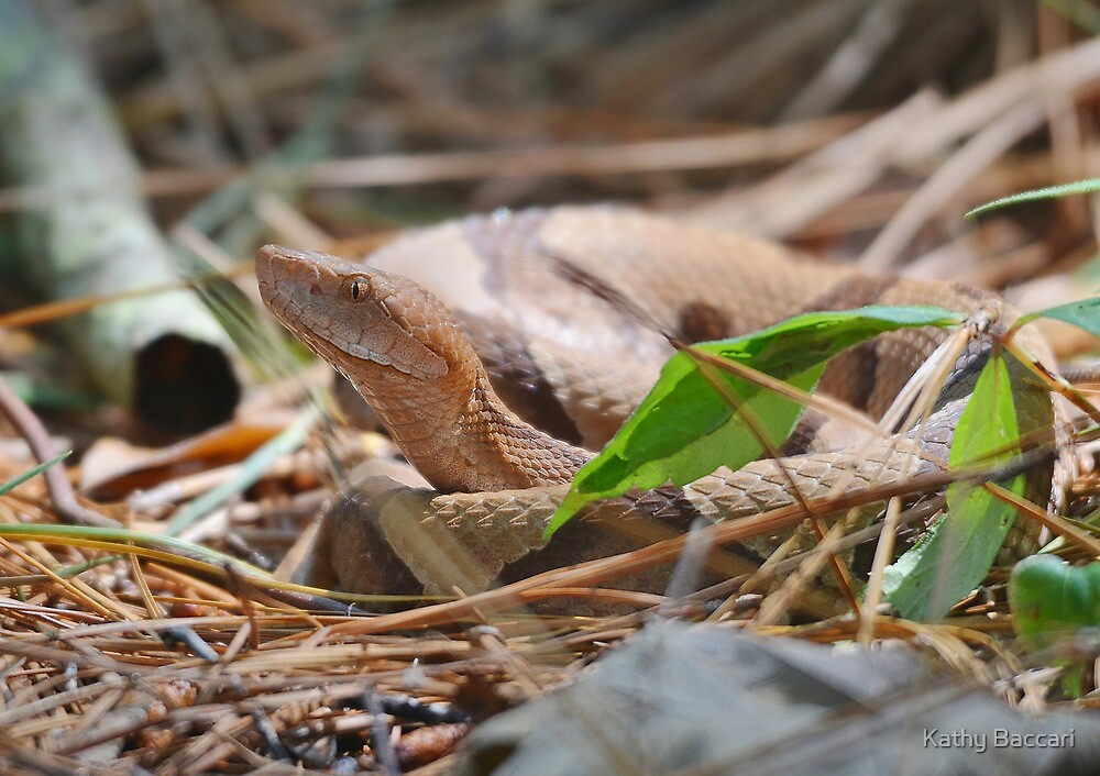 Sourthern Copperhead by Kathy Baccari